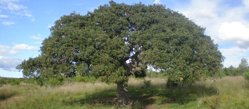 Nacional rboles de encino en peligro en m xico por for Caracteristicas de arboles frondosos
